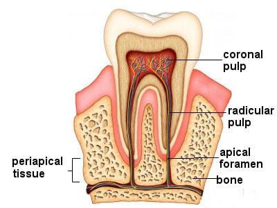 Tooth Structure What Are Teeth Made Of