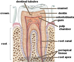 dental abscess diagram discover the structure of our teeth dental pulp diagram