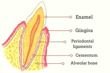 Periodontium Or The Tooth Supporting Structure