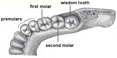 Dentition types of teeth function of teeth molars ccuart Gallery
