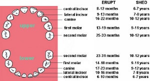 Dentition and types of teeth types of teeth function of teeth ccuart Image collections
