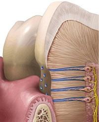 canalicule dentinare