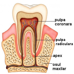 structura pulpei dentare